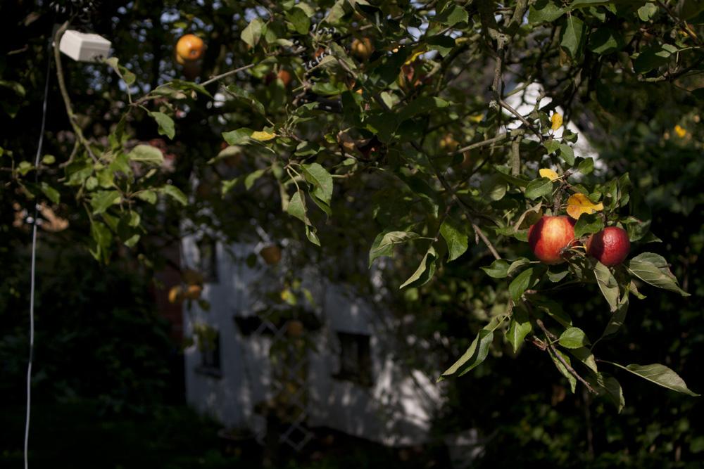 Apple tree in garden